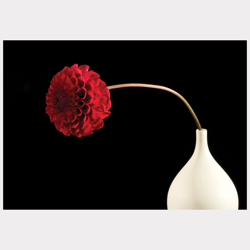 dahlia red leaning