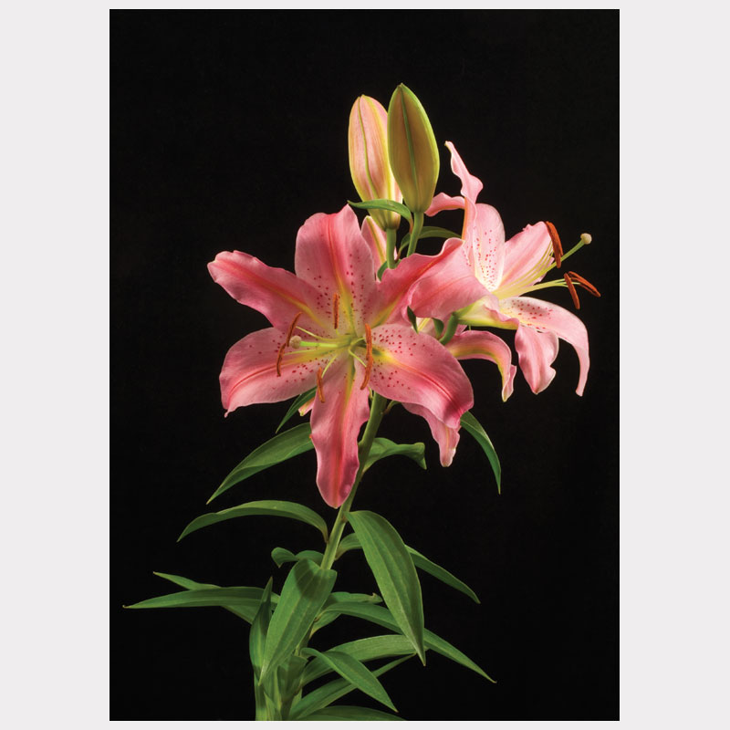 lily opening