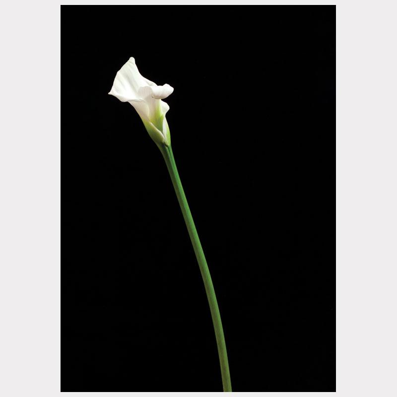 1 calla white