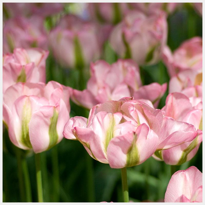 tulips greenland