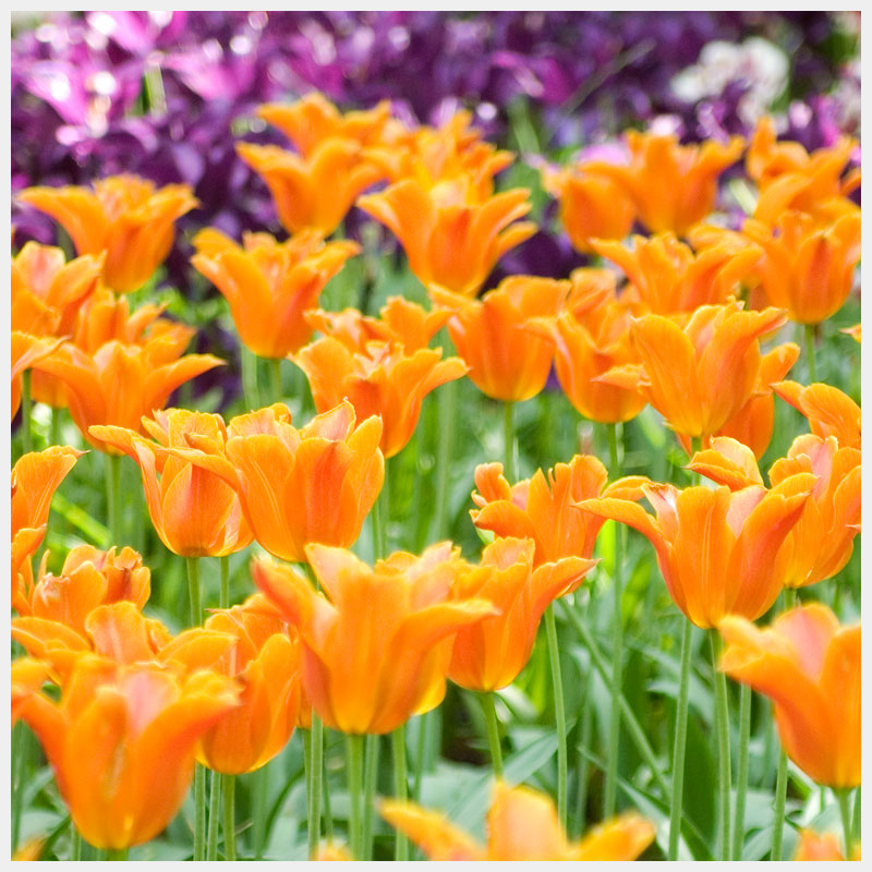 tulips ballerina