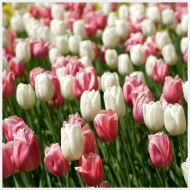 tulip field pink white