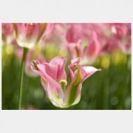 tulip formosa