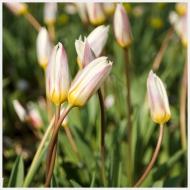 tulips calgary