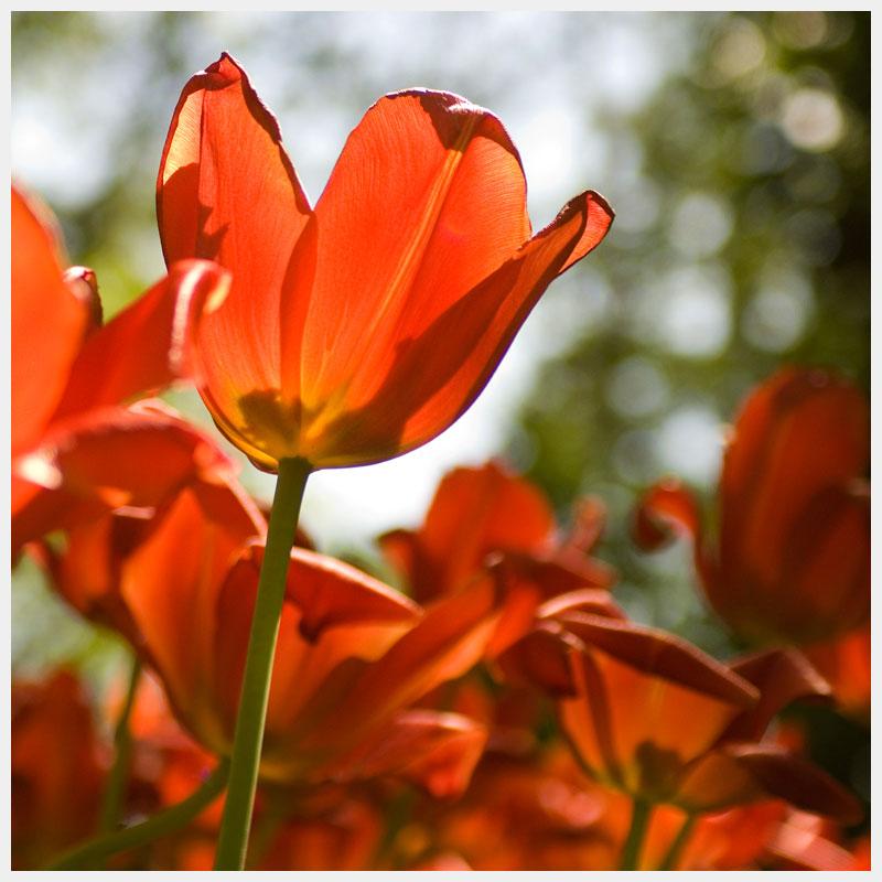tulip kings mountain